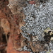 Woven-spored Lichen - Photo (c) Millie Basden, some rights reserved (CC BY)