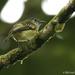 Piquiplano Aliamarillo - Photo (c) Michael Woodruff, algunos derechos reservados (CC BY-SA)