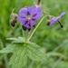 Geranium platyanthum - Photo (c) nikolaydorofeev,  זכויות יוצרים חלקיות (CC BY-NC)