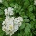 Rosa multiflora - Photo (c) sheoftheplants, μερικά δικαιώματα διατηρούνται (CC BY-NC)