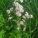 Common Valerian Complex - Photo (c) dziugasindr, some rights reserved (CC BY-NC)