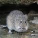 Ratas Algodoneras - Photo (c) Scott Buckel, algunos derechos reservados (CC BY-NC)