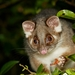 Ringtail Possums - Photo (c) Paul George, some rights reserved (CC BY-NC-SA)