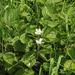 Rubus × idaeoides - Photo (c) Sergey Mayorov, algunos derechos reservados (CC BY-NC)