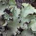 Parmotrema crinitum - Photo (c) Richard Droker, algunos derechos reservados (CC BY-NC-ND)
