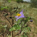 Watermelon Nightshade - Photo (c) Ruben A. Martínez Flores, some rights reserved (CC BY-NC)
