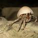 Coenobita rugosus - Photo (c) Thomas Quine, algunos derechos reservados (CC BY)