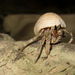 Tawny Hermit Crab - Photo (c) Thomas Quine, some rights reserved (CC BY)