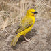 Holub's Golden-Weaver - Photo (c) Sergey Yeliseev, some rights reserved (CC BY-NC-ND)