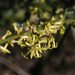 Stackhousia muricata - Photo (c) binghi, some rights reserved (CC BY-NC)