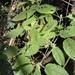 Tragiella natalensis - Photo (c) Troos van der Merwe,  זכויות יוצרים חלקיות (CC BY-NC)