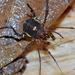 Beloniscus albiephippiatus - Photo (c) Adriano B. Kury, alguns direitos reservados (CC BY-NC)