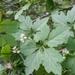 Cyclanthera naudiniana - Photo (c) joshua_tx, algunos derechos reservados (CC BY-NC-SA)