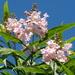× chitalpa tashkentensis - Photo (c) Wendy Cutler, algunos derechos reservados (CC BY)