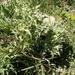 Eryngium billardieri - Photo (c) דבורה שיצר, algunos derechos reservados (CC BY-NC)