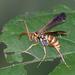 Poecilopompilus interruptus interruptus - Photo (c) Tracey Fandre,  זכויות יוצרים חלקיות (CC BY-NC-ND)