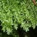 Plagiothecium laetum - Photo HermannSchachner, sin restricciones conocidas de derechos (dominio público)