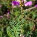 Dalea frutescens - Photo (c) Josh*m,  זכויות יוצרים חלקיות (CC BY-NC-SA)