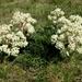 Aciphylla - Photo (c) Melburnian, algunos derechos reservados (CC BY-SA)