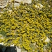 Cruciata taurica - Photo (c) דבורה שיצר, some rights reserved (CC BY-NC)