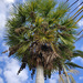 Copernicia alba - Photo (c) palmlover, osa oikeuksista pidätetään (CC BY-NC)