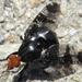 Prosthiochaeta bifasciata - Photo (c) onidiras-iNaturalist, algunos derechos reservados (CC BY-NC)