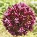 Allium atroviolaceum - Photo (c) Виталий, some rights reserved (CC BY-NC)