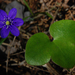 Hepaticas - Photo (c) Tero Laakso, some rights reserved (CC BY)