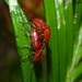 Orsodacnidae - Photo (c) Anita E Shaul, alguns direitos reservados (CC BY-NC)