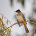 Brown-breasted Bulbul - Photo (c) Marcel Holyoak, some rights reserved (CC BY-NC-ND)