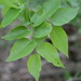 Common Hackberry - Photo (c) emily-a, some rights reserved (CC BY-NC)