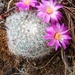 Mammillaria deherdtiana - Photo (c) Opuntia Cadereytensis, some rights reserved (CC BY-NC)