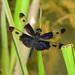 Libélulas Rayadoras - Photo (c) christopherburwell, algunos derechos reservados (CC BY-NC)