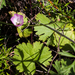 Southern Checkerbloom - Photo (c) BJ Stacey, some rights reserved (CC BY-NC)