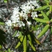 Labrador Tea - Photo (c) Tom Norton, some rights reserved (CC BY-NC)