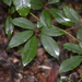 Five-Leaved Water Vine - Photo (c) Nick Lambert, some rights reserved (CC BY-NC-SA)