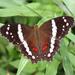 Mariposa Pavoreal con Bandas Blancas - Photo (c) Matt Lerow, algunos derechos reservados (CC BY)
