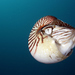 Nautiluses - Photo (c) Klaus Stiefel, some rights reserved (CC BY-NC)