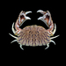 Flame Streaked Box Crab - Photo (c) Ondřej Radosta, some rights reserved (CC BY-NC)
