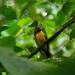 Lanio versicolor - Photo (c) thibaudaronson,  זכויות יוצרים חלקיות (CC BY-SA)