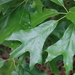 Southern Red Oak - Photo (c) Cosmic Cat, some rights reserved (CC BY-NC)