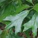 Quercus falcata - Photo (c) Cosmic Cat, osa oikeuksista pidätetään (CC BY-NC)