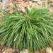 Carex pedunculata - Photo (c) ColinDJones, algunos derechos reservados (CC BY-NC)