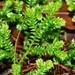 Krauss's Clubmoss - Photo (c) Reiner Richter, some rights reserved (CC BY-NC-SA)