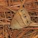 Megisto cymela viola - Photo (c) Judy Gallagher, algunos derechos reservados (CC BY), uploaded by Judy Gallagher