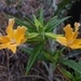 Southern Bush Monkeyflower - Photo (c) dgreenberger, some rights reserved (CC BY-NC-ND)