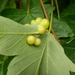 Maple Gall Wasp - Photo no rights reserved