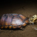 Yellow Pond Turtle - Photo (c) ihenglan, some rights reserved (CC BY-NC)