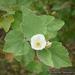 Malacothamnus palmeri - Photo (c) Keir Morse, algunos derechos reservados (CC BY-NC-ND)