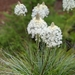 Common Beargrass - Photo (c) David Anderson, some rights reserved (CC BY-NC-SA)